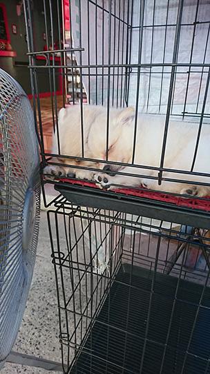扇風機に当たって気持ちよく寝てる犬