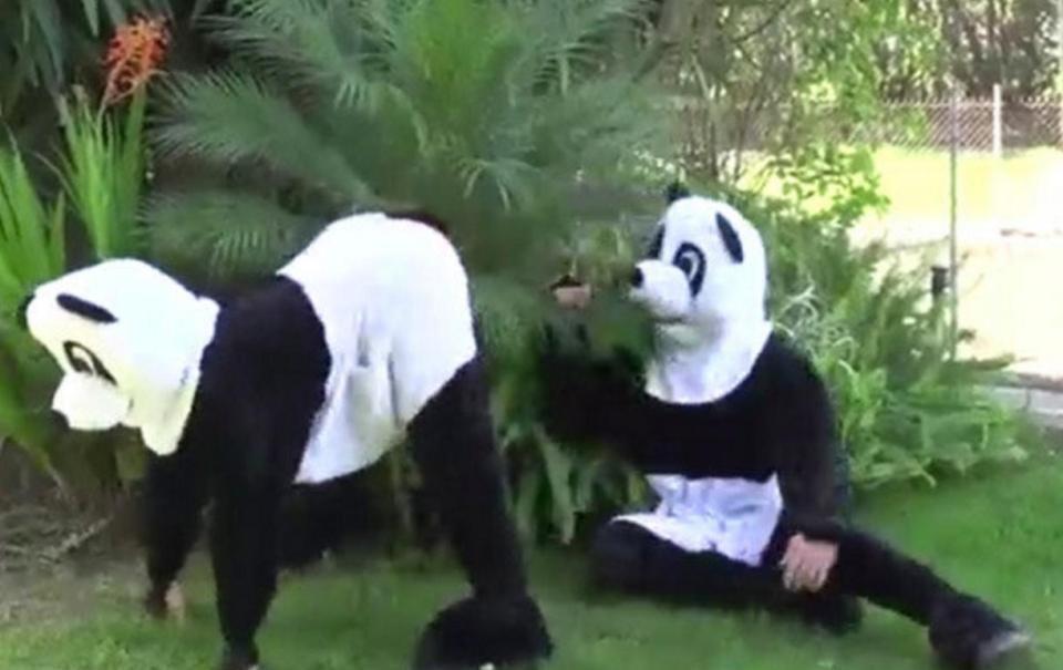 パンダの生殖活動2