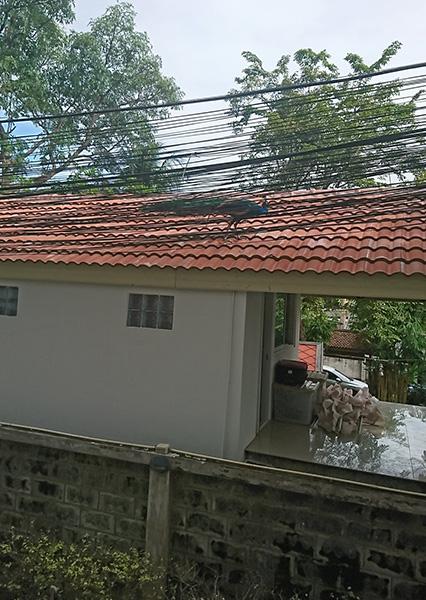 屋根に登る孔雀