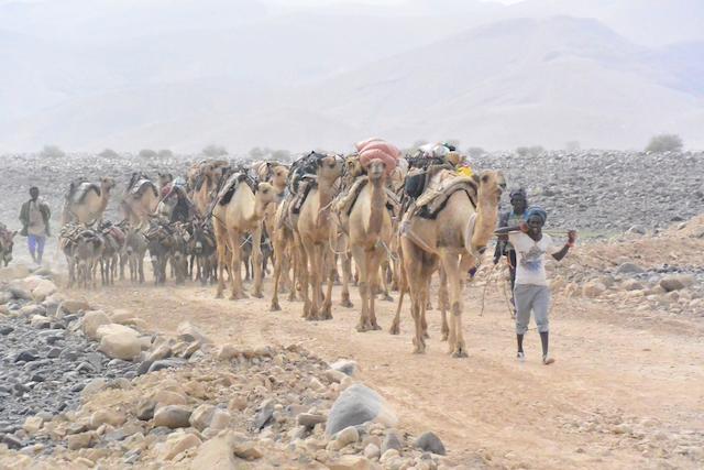 岩塩を運ぶ大量のラクダ