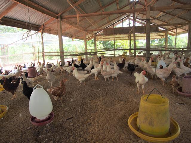 「黒田」の自社農場で飼われる地鶏。飼育環境の良さはタイ最高峰とされる