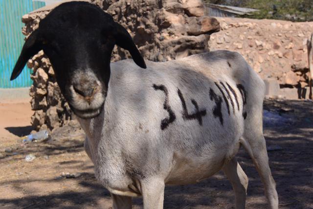 ヤギの体に何か書いてある……。