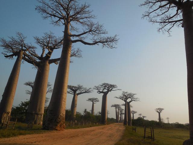 マダガスカルの代名詞であるバオバブは絶景